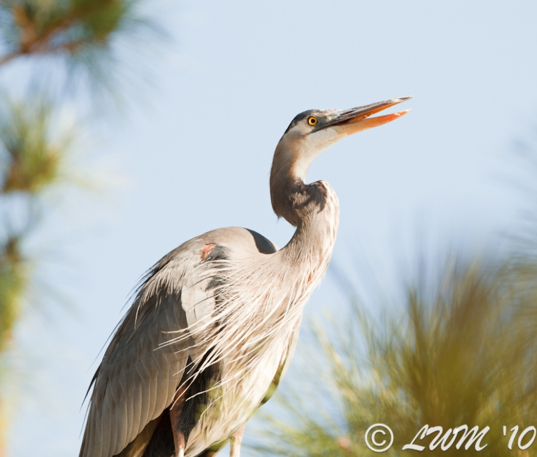 Great Blue Heron In Pine Tree At Lake Houston