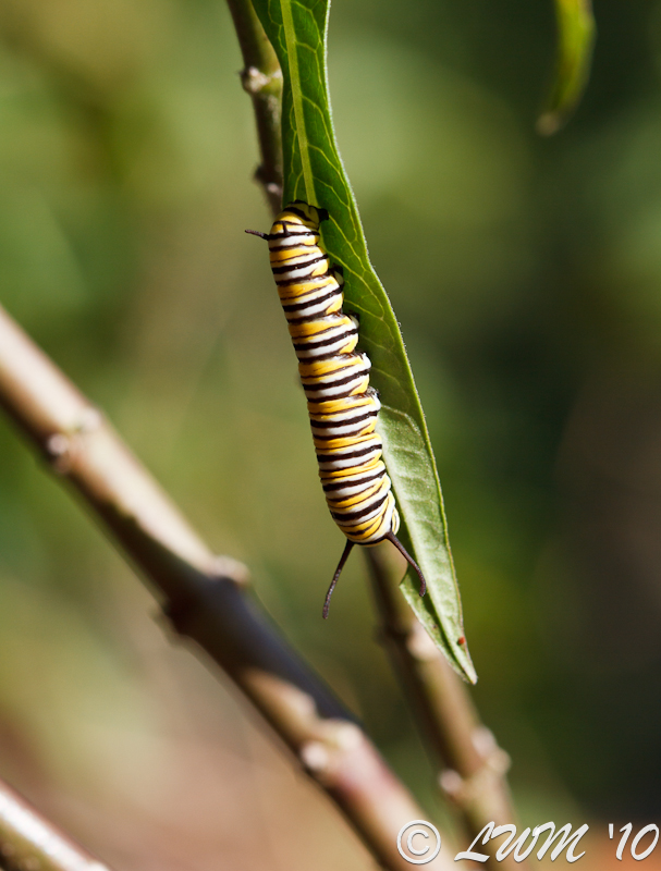 Monarch Caterpillar On Milkweed Stem