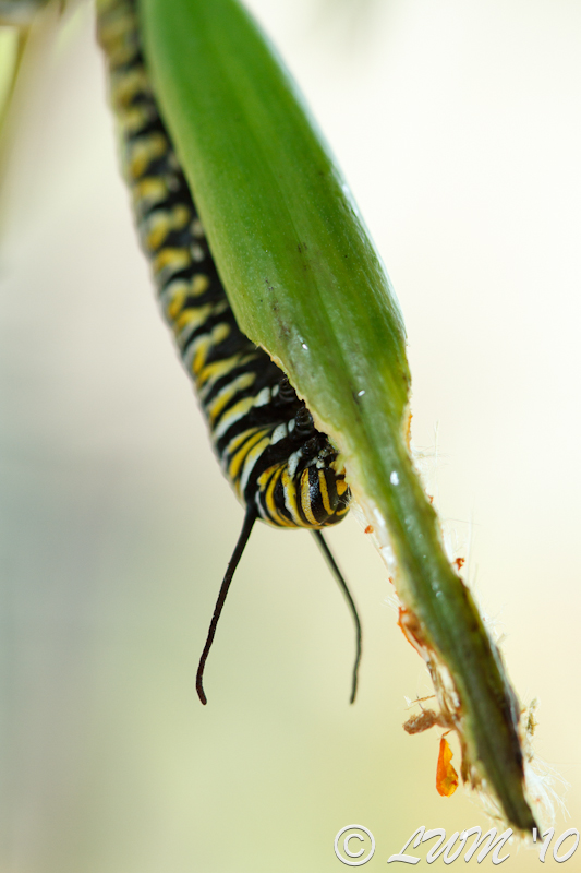Monarch Caterpillar Eating Milkweed Pod
