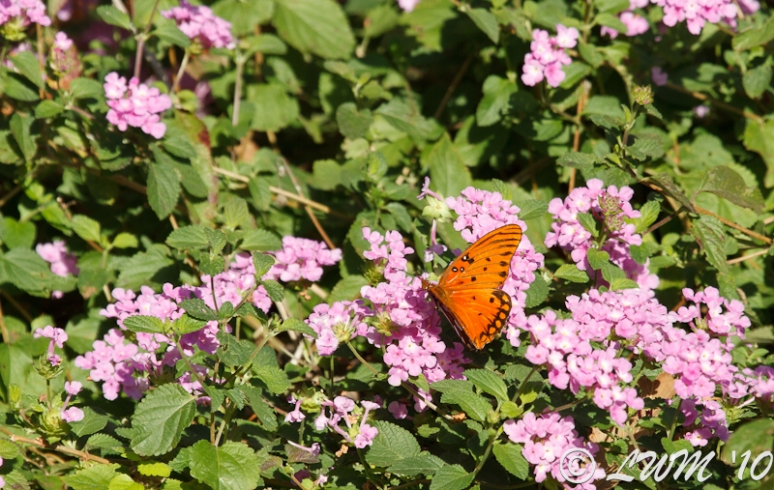 Gulf Fritillary On Purple Lantana