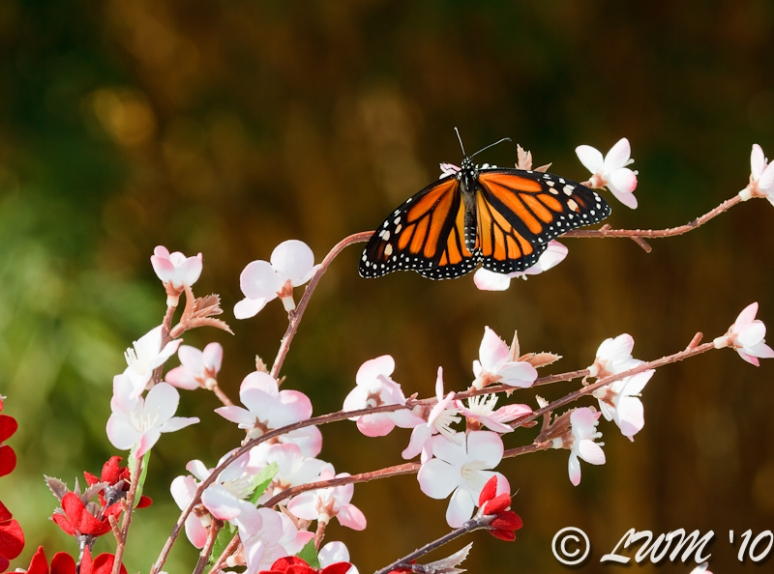 New Monarch Butterfly On Cherry Blossoms