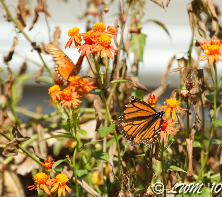 Monarch With Torn Wing Feeding On Mexican Flame Vine