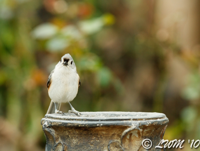 Tufted Titmouse On Fountain