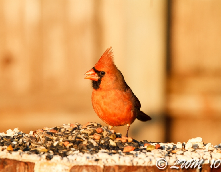 Northern Cardinal Feeding In Morning Light