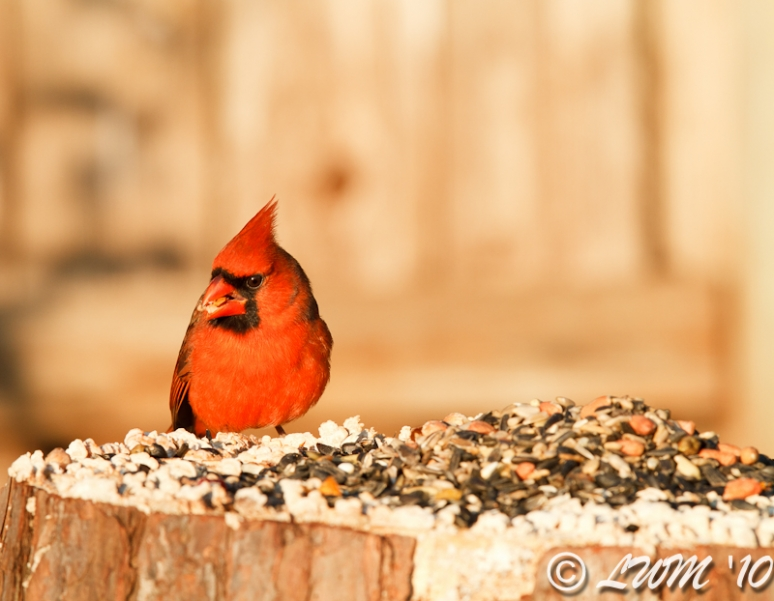 Northern Cardinal With Mouth Full Of Food In Morning Light