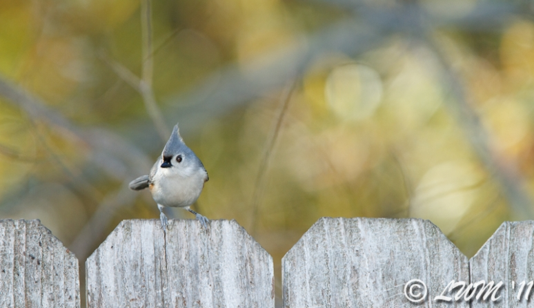 Tufted Titmouse On Fence