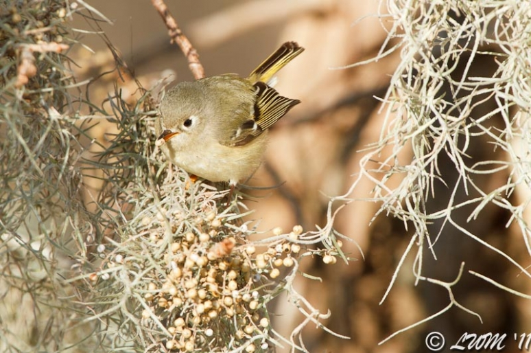 Ruby Crowned Kinglet Eating Seed Around Moss