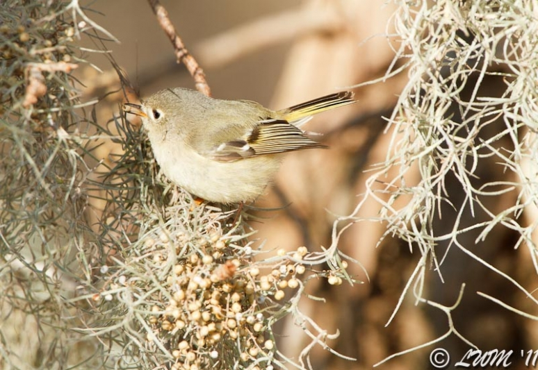 Ruby Crowned Kinglet Eating Seed Side Profile