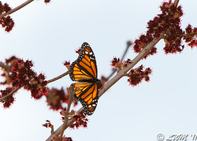 Monarch Spreading Wings On Maple Tree