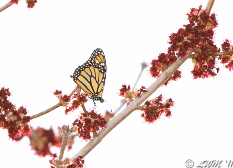 Monarch Butterfly Getting Nectar From Maple Tree Flower