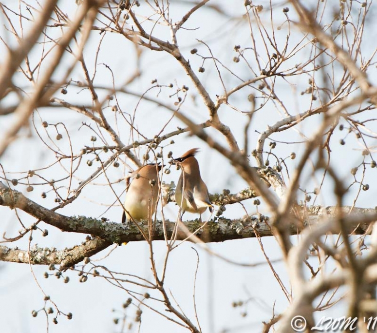 Pair Of Cedar Waxwings Sharing Seed