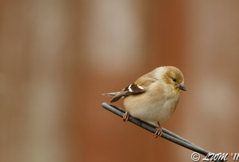 American Goldfinch Resting On Bird Feeder