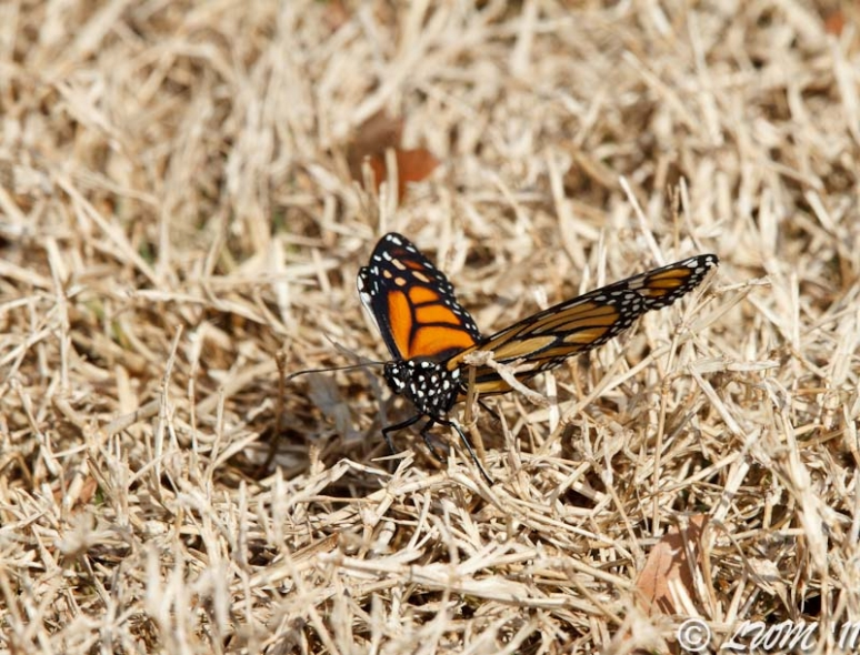 Monarch Butterfly Resting In Grass