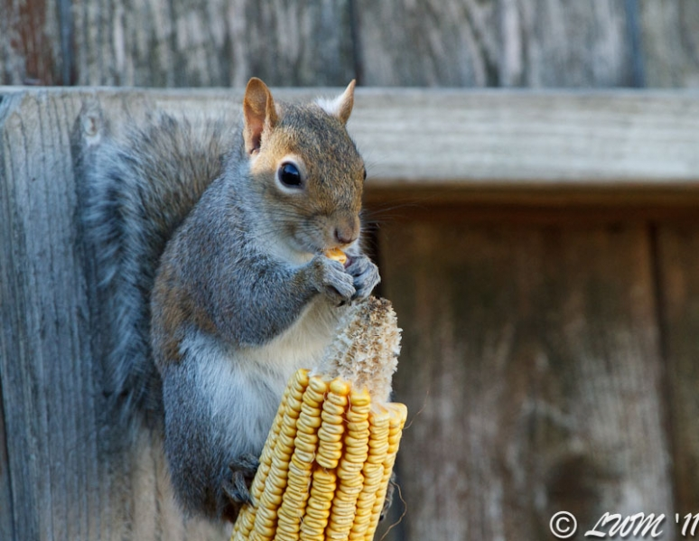 Tree Rat Eating Corn On Fence