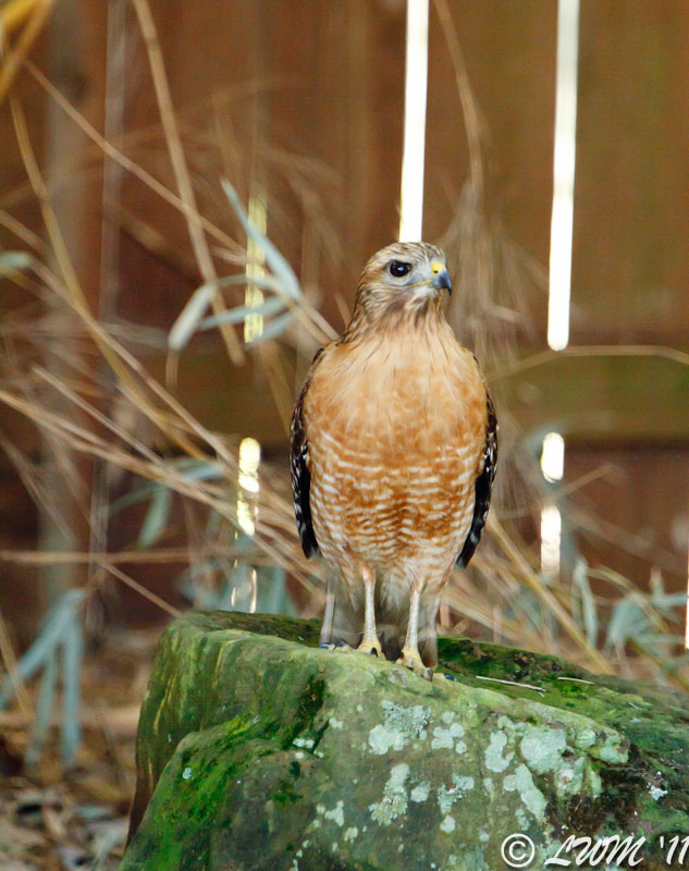 Red Shouldered Hawk Sitting On Moss Rock Hunting Koi