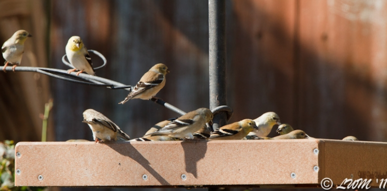 American Goldfinches Invading The Bird Feeder