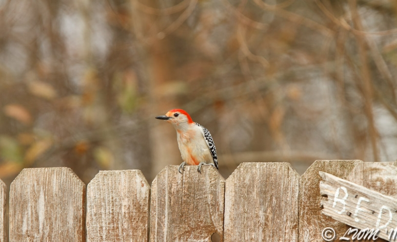 Red Bellied Woodpecker Joins The American Goldfinches