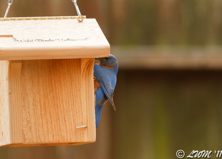 Our First Eastern Bluebird Investigating His Potential New Home