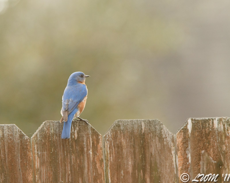 Eastern Bluebird Checking Out The Scenery On Fence