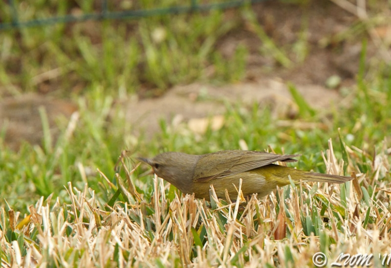Orange Crowned Warbler Lunging At Skeeter Eater