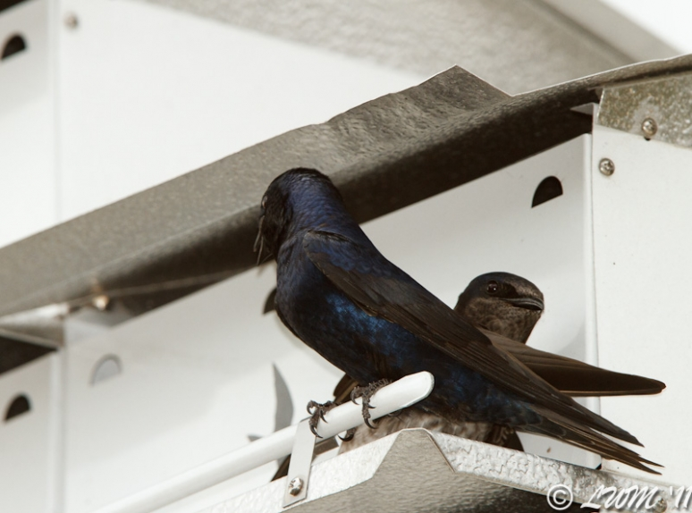 First Pair Of Purple Martins For 2011