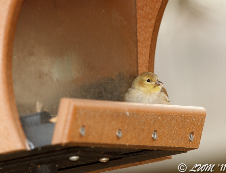 American Goldfinch Resting In Bird Feeder