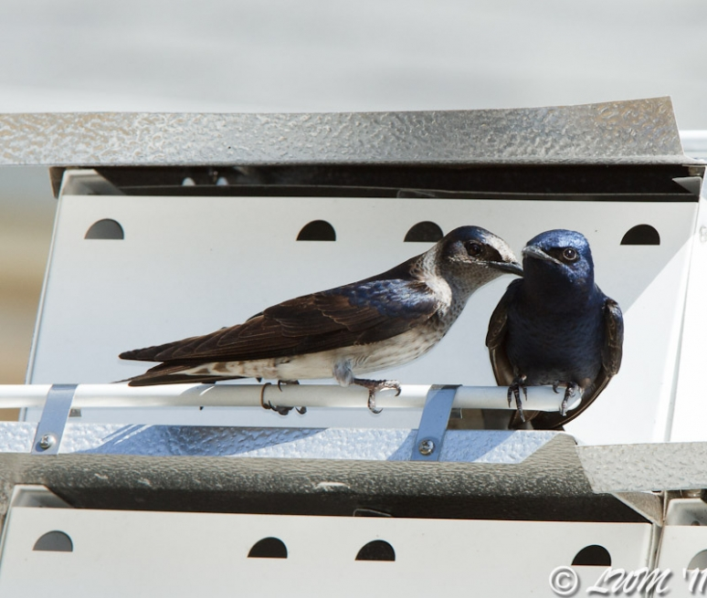 Purple Martin Couple Nuzzling
