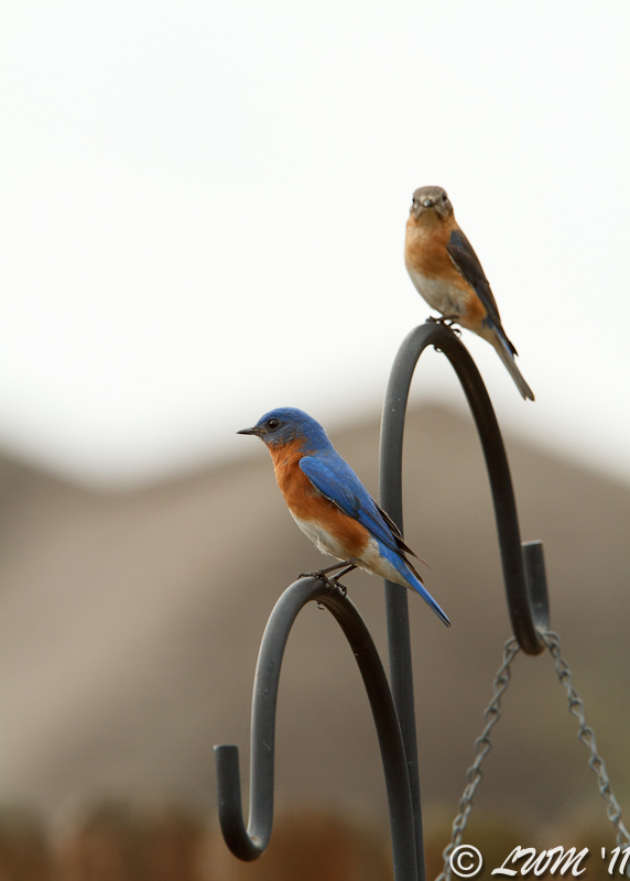Male And Female Eastern Bluebird Perching On Post