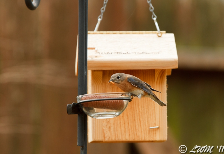 Female Eastern Bluebird Eating Mealworms