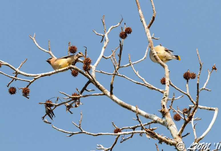 Cedar Waxwing In Sweetgum Tree