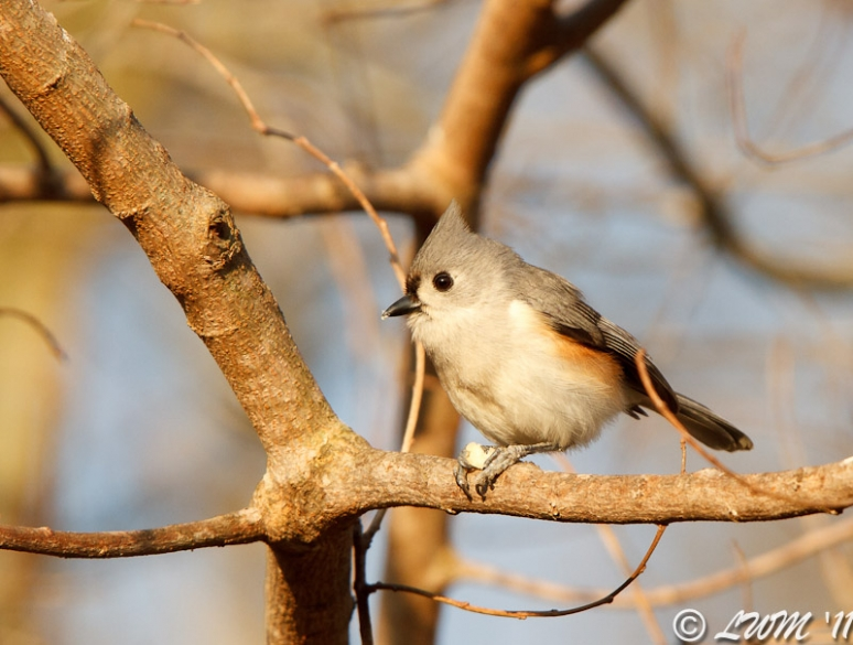 Tufted Titmouse Eating Seed In Tree