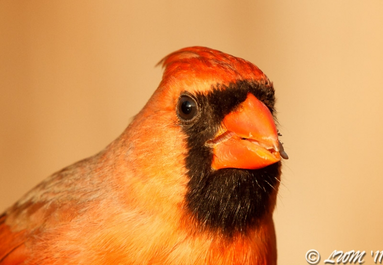 Head Shot Of Male Cardinal