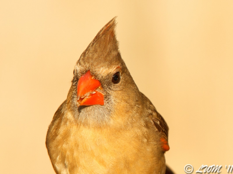 Head Shot Of Female Cardinal