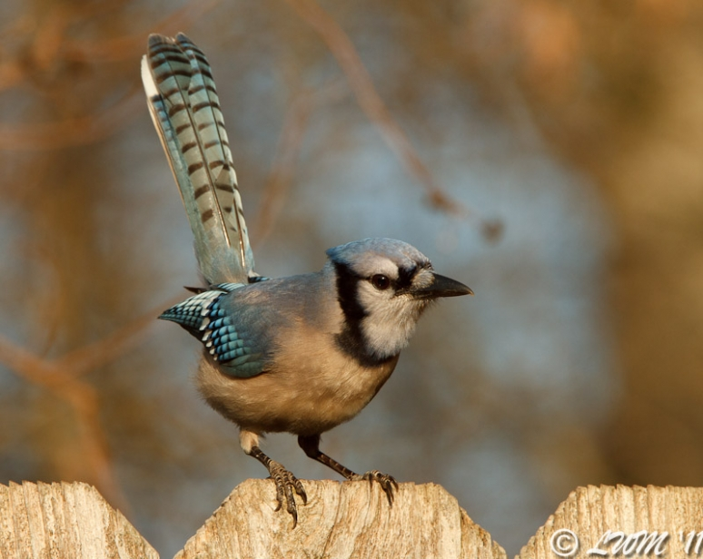 Blue Jay Raising Tail On Fence