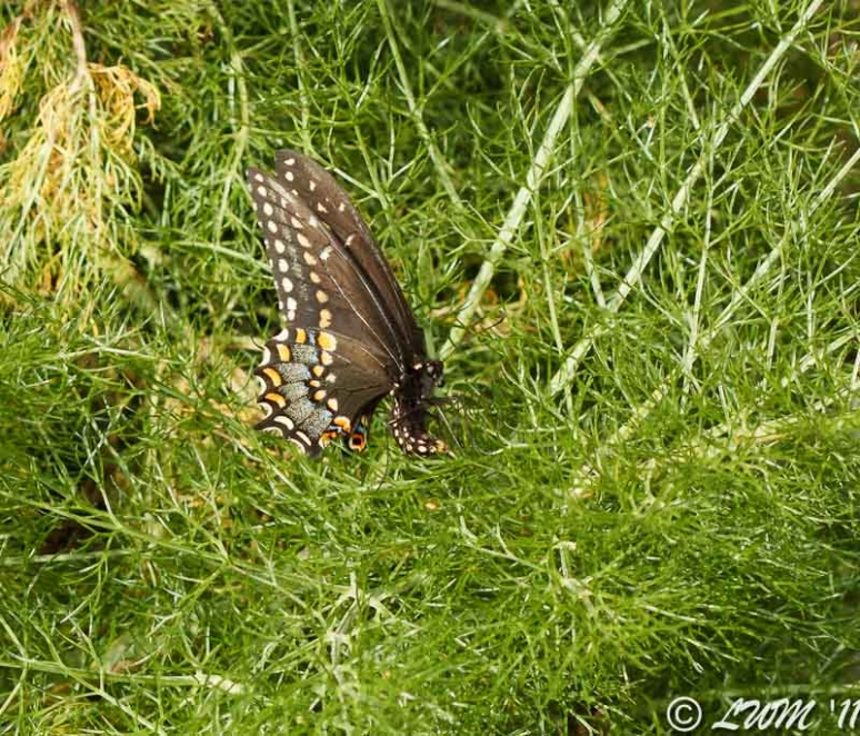 Eastern Black Swallowtail Butterfly Laying Eggs In Mass Of Fennel