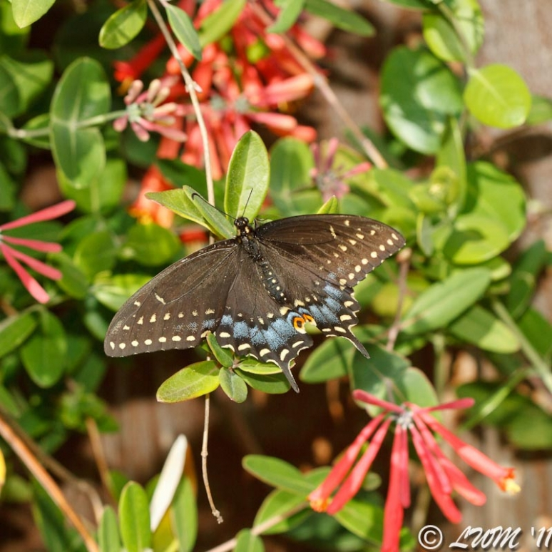 Eastern Black Swallowtail Butterfly Resting On Coral Honeysuckle