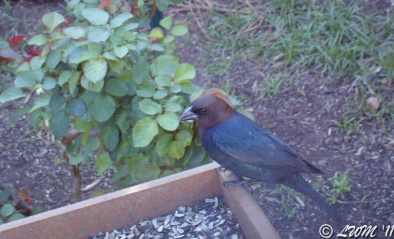 Brown Headed Cowbird Captured With WIngscapes Birdcam