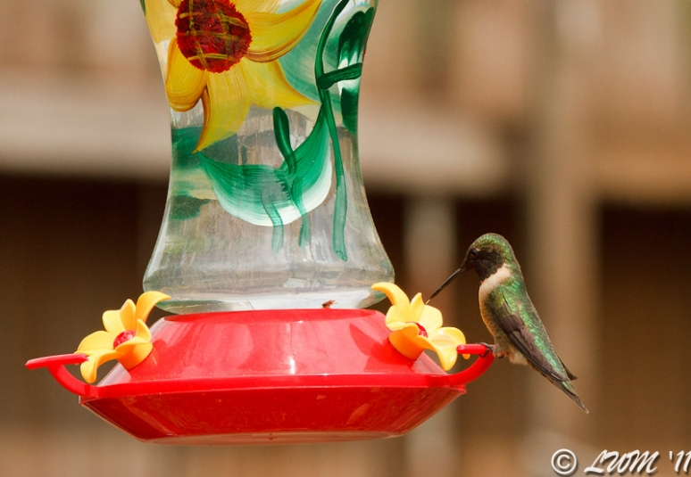 Male Ruby Throated Hummingbird Getting Nectar From Feeder