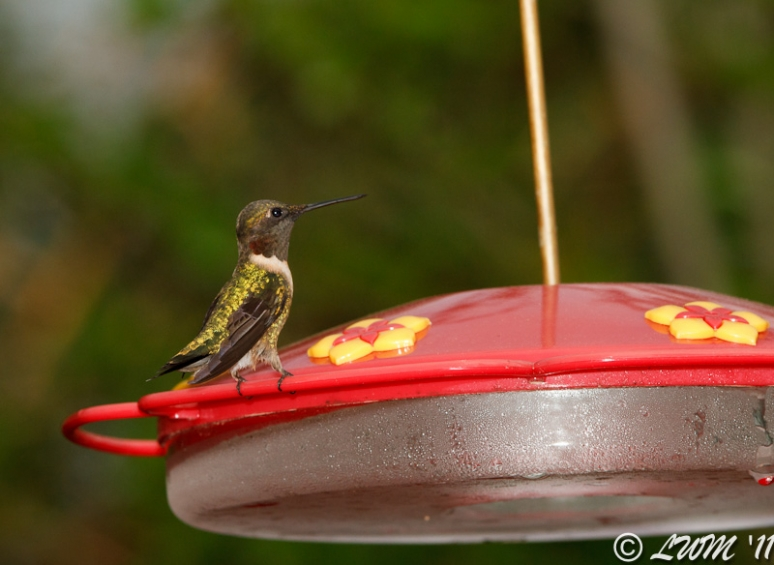 Male Ruby Throated Hummingbird Early In The Morning