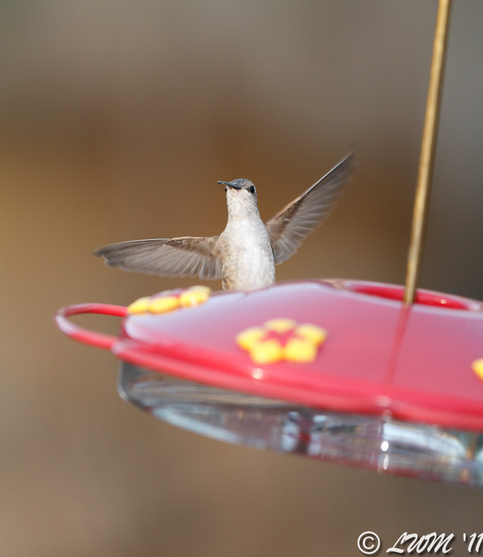 First Female Ruby Throated Hummingbird 2011