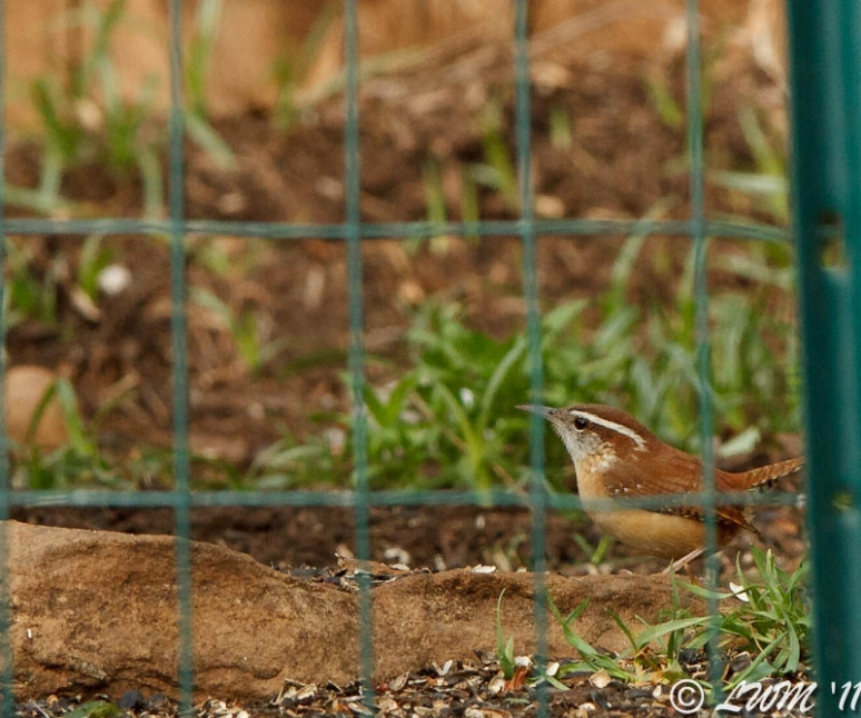 Carolina Wren In Rose Garden