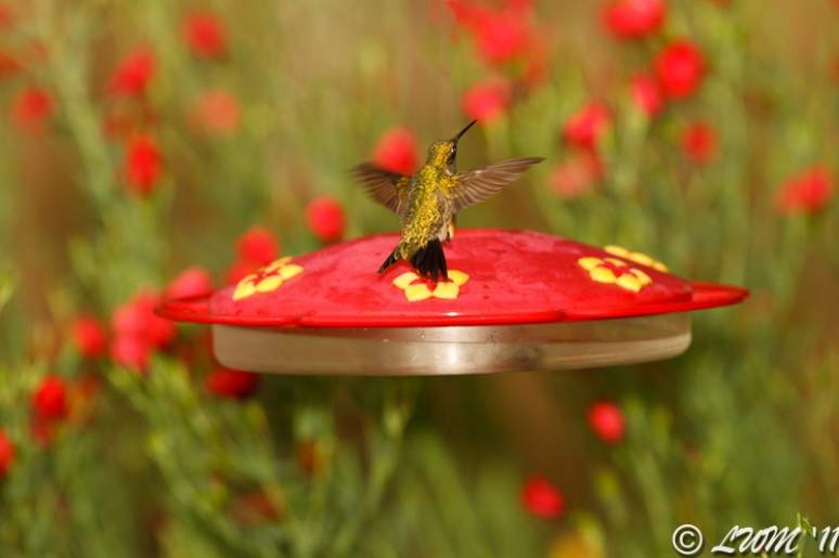 Male Ruby Throated Hummer In Background Of Red Wildflowers
