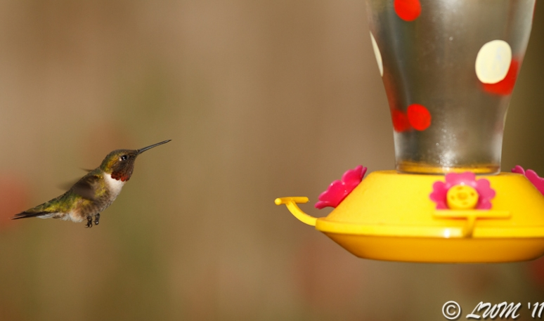 Male Ruby Throated Hummer Flying Towards Yellow Feeder
