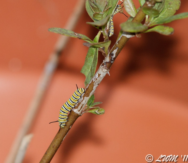 Monarch Caterpillars Crawling Towards Newer Milkweed