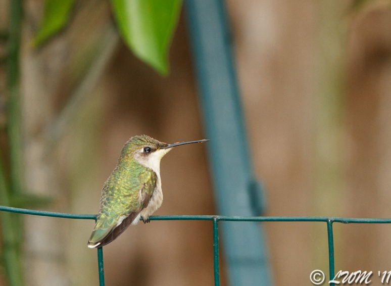 Female Ruby Throated Hummingbird Resting Under Orange Tree