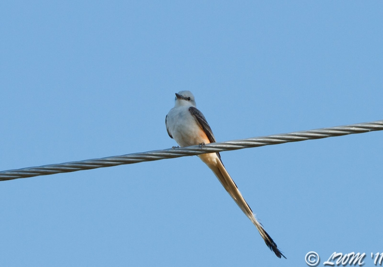 Scissor Tailed Flycatcher Above My Head