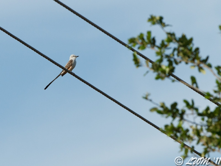 Scissor Tailed Flycatcher On Wire