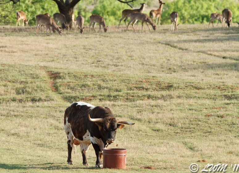Texas Longhorn Investigating Bucket With Deer In Background
