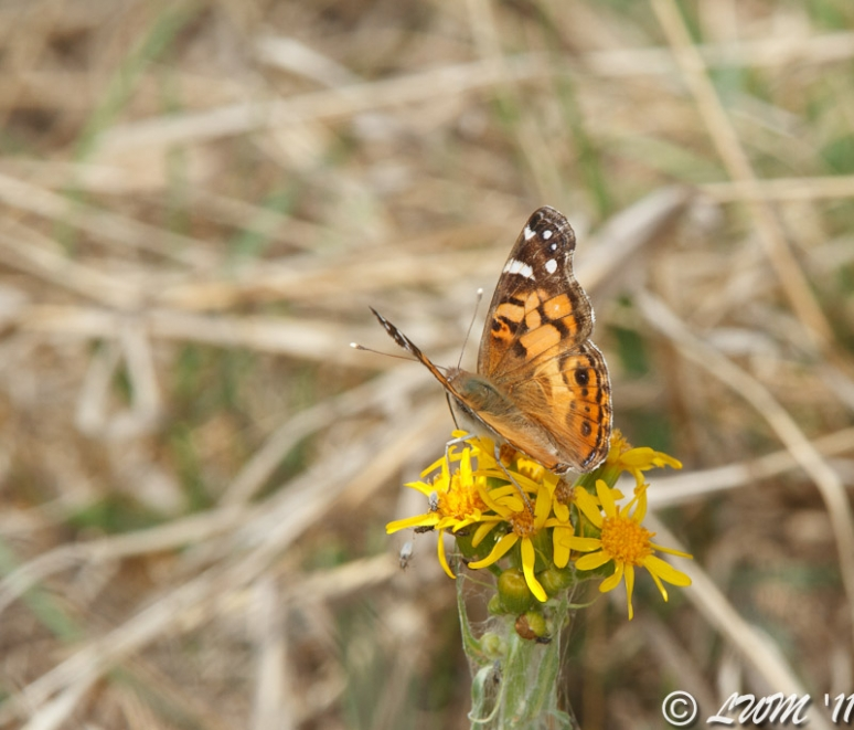 Painted Lady Butterfly Found At Country Inn And Cottages