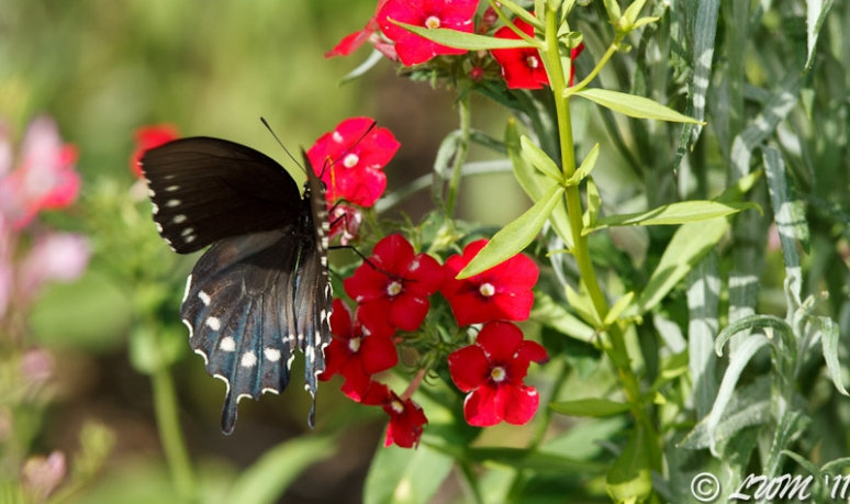 First Pipevine Swallowtail Of 2011 On Red Wildflowers